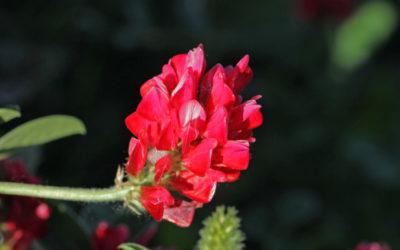 La Sulla, una pianta erbacea dalle tante proprietà e dal gustoso miele sempre più apprezzata per le sue fioriture