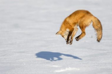 Alcune curiosità sulla volpe, un predatore dalla proverbiale furbizia