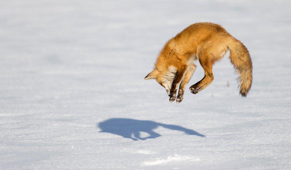 volpe a caccia