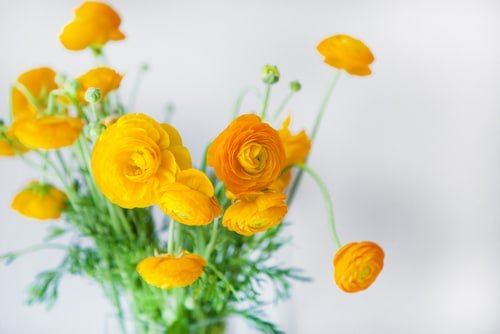 ranunculus giallo