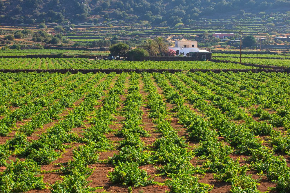 Photo of Dall'uva Zibibbo un eccellente vino da meditazione e non solo, prodotto soprattutto a Pantelleria