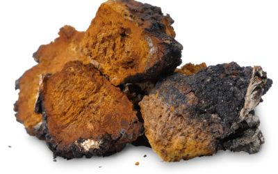 Il fungo Chaga (Inonotus Obliquus): utile contro tumori, virus, infiammazioni  e diabete