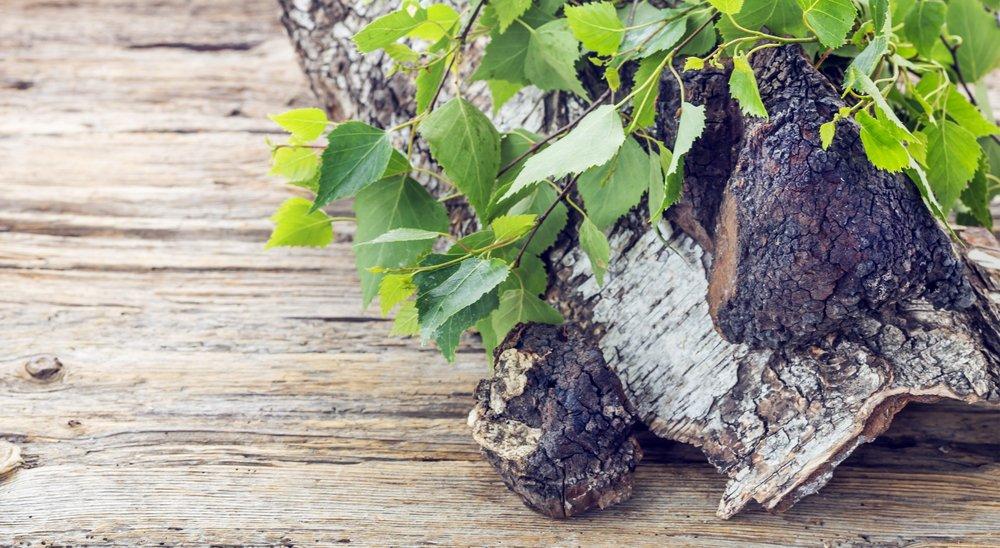 Photo of Il fungo Chaga (Inonotus Obliquus): utile contro tumori, virus, infiammazioni  e diabete