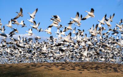 Quali sono gli animali che migrano e perché lo fanno?