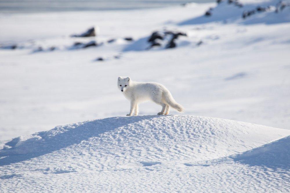 volpe bianca artica