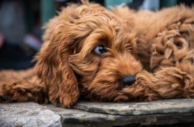 Cockapoo o Spoodle: caratteristiche e consigli su questo cane che ricorda il Barboncino