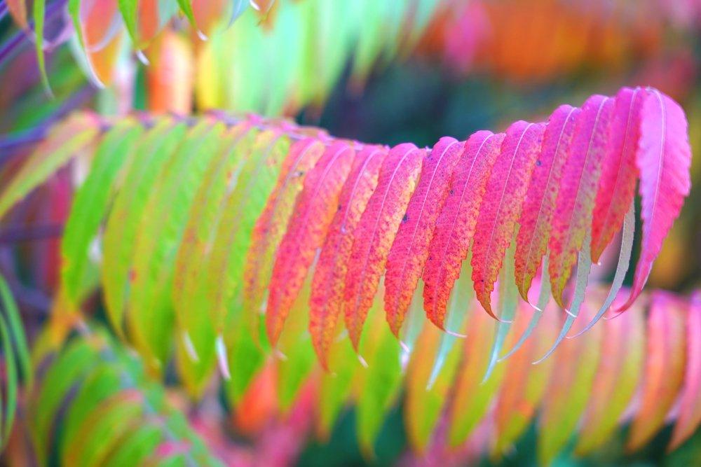 Photo of Tutto sull'ailanto, considerato sia infestante che ornamentale, è caratterizzato dal cattivo odore delle foglie