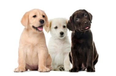 Guida al Labrador Retriever, cane amatissimo dai bambini