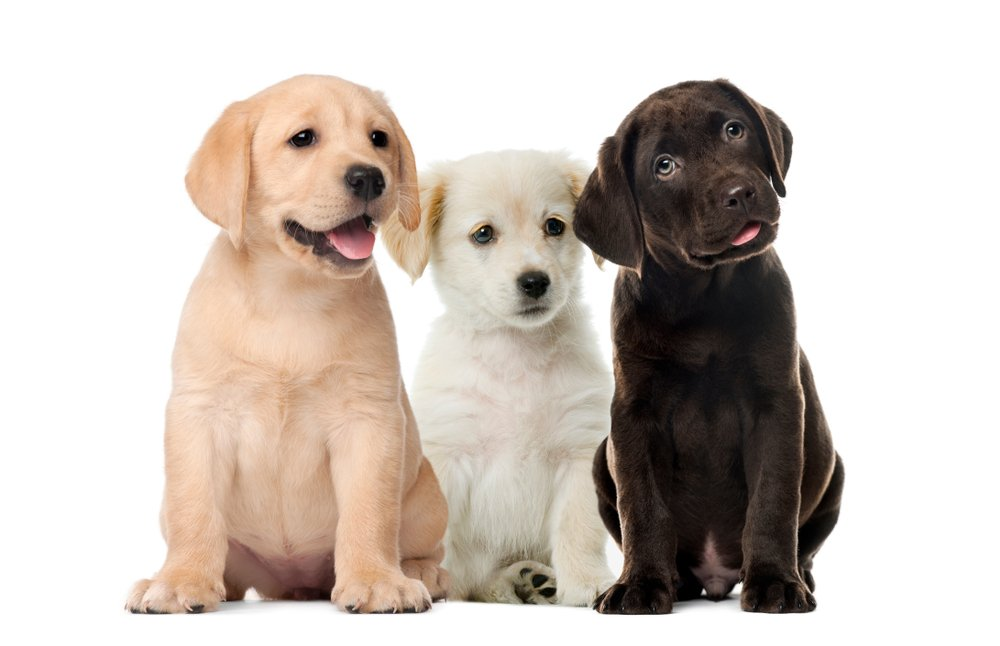 Photo of Guida al Labrador Retriever, cane amatissimo dai bambini