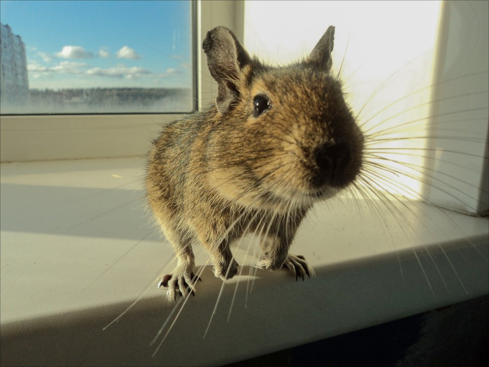 Photo of Degu: caratteristiche del simpatico roditore originario delle Ande