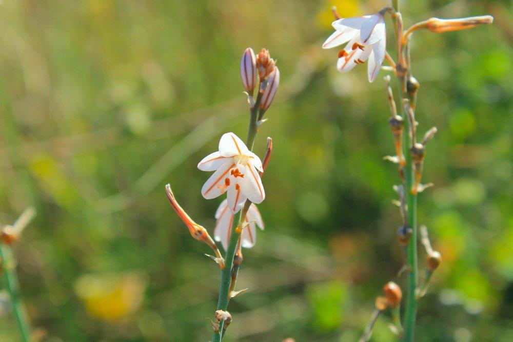 Photo of Asfodelo: significato e altre cose da sapere su questa pianta sacra agli antichi Greci