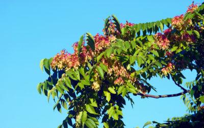 Tutto sull'ailanto, considerato sia infestante che ornamentale, è caratterizzato dal cattivo odore delle foglie