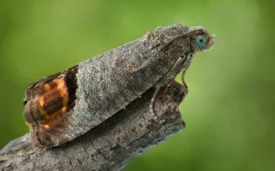 Falena, un insetto incredibile e per certi aspetti inquietante