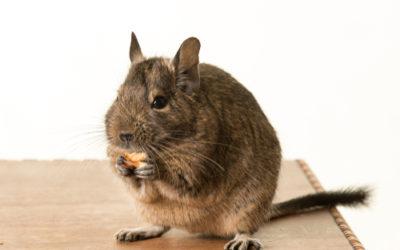 Degu: caratteristiche del simpatico roditore originario delle Ande