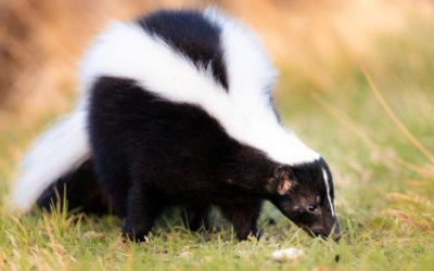 Puzzola o moffetta: le diverse specie, curiosità e cose da sapere su questo animale dalla nota arma deterrente
