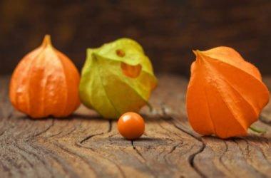 Proprietà, benefici e ricette dell'alchechengi, i cui frutti sono noti anche come lanterne cinesi