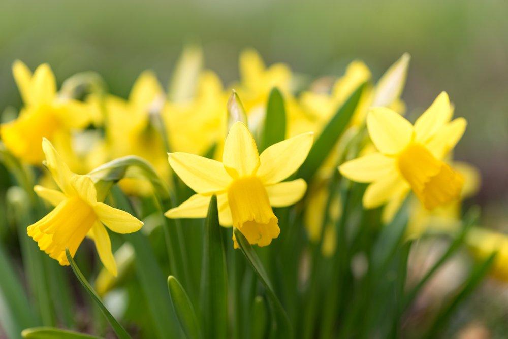 Photo of Giunchiglia, la pianta dal fiore odoroso e seducente molto simile al narciso