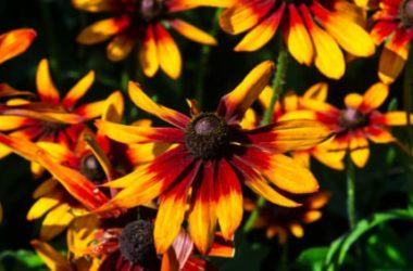 Rudbeckia, una pianta perenne decorativa bella e facile da coltivare