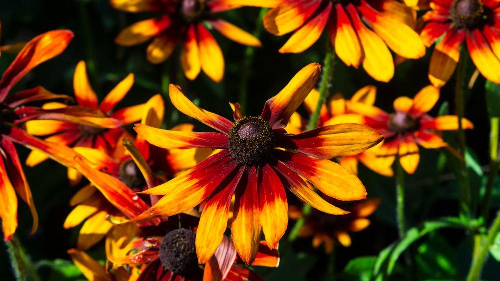 Photo of Rudbeckia, una pianta perenne decorativa bella e facile da coltivare
