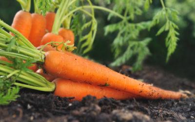 Come coltivare carote nell'orto, in vaso o dagli stessi scarti delle carote