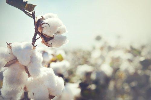 Photo of Guida alle proprietà e ai vantaggi del cotone, una fibra naturale fra le più diffuse
