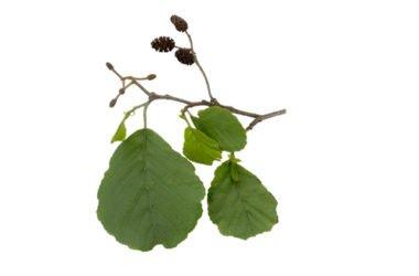 Ontano nero: un antinfiammatorio naturale, utile anche come tonico