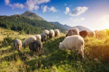 Latte di pecora: un'alternativa al latte di mucca buona e nutriente