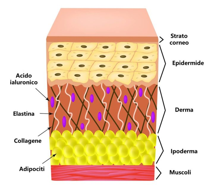 elastina