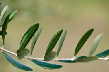 """Le foglie di olivo, un """"antibiotico naturale"""" e molto altro ancora"""