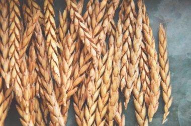 Scopriamo la spelta, un cereale antico chiamato anche gran farro, antenato del grano tenero