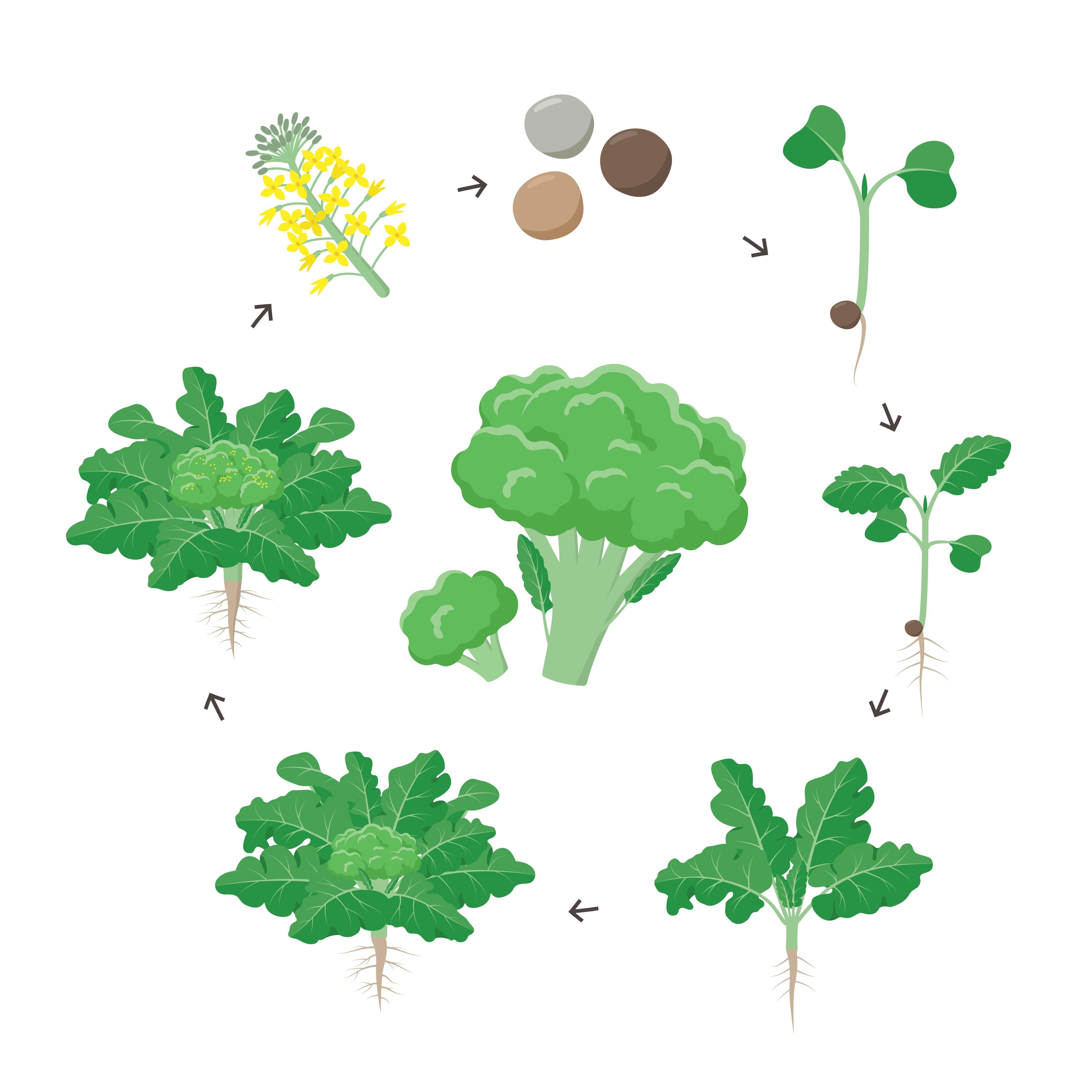 Photo of L'olio di broccoli ha effetto lisciante e anticrespo per i capelli ed è protettivo e rigenerante per pelli mature