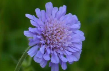 Scabiosa: proprietà, storia e coltivazione di una pianta ornamentale nota anche come vedovella