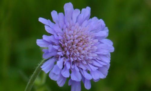 Photo of Scabiosa: proprietà, storia e coltivazione di una pianta ornamentale nota anche come vedovella