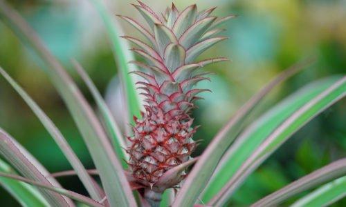Photo of Pianta di ananas: caratteristiche e coltivazione della pianta tropicale da appartamento