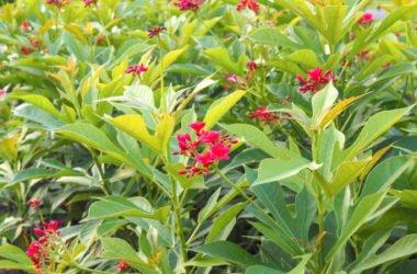 Scoprite tutto sulla jatropha, una pianta tropicale ornamentale, ma velenosa che è anche molto utile