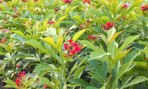 Photo of Scoprite tutto sulla jatropha, una pianta tropicale ornamentale, ma velenosa che è anche molto utile