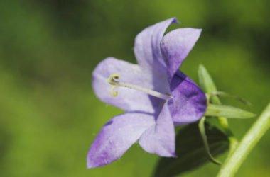 Raponzolo: caratteristiche e usi di quest'erba selvatica