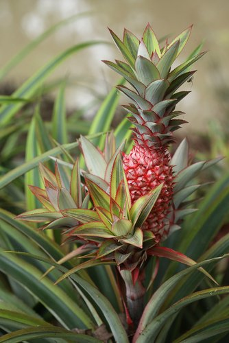 Pianta di ananas: caratteristiche e coltivazione della pianta tropicale da appartamento