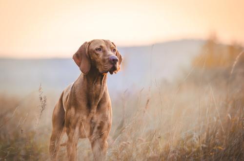 Tutto sul bracco ungherese, un cane dolcissimo da conoscere meglio