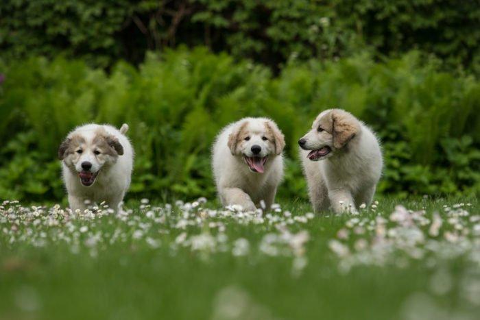 pastore dei pirenei cuccioli