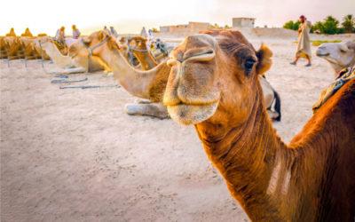 Ecco il cammello, l'animale con le gobbe dalle incredibili virtù