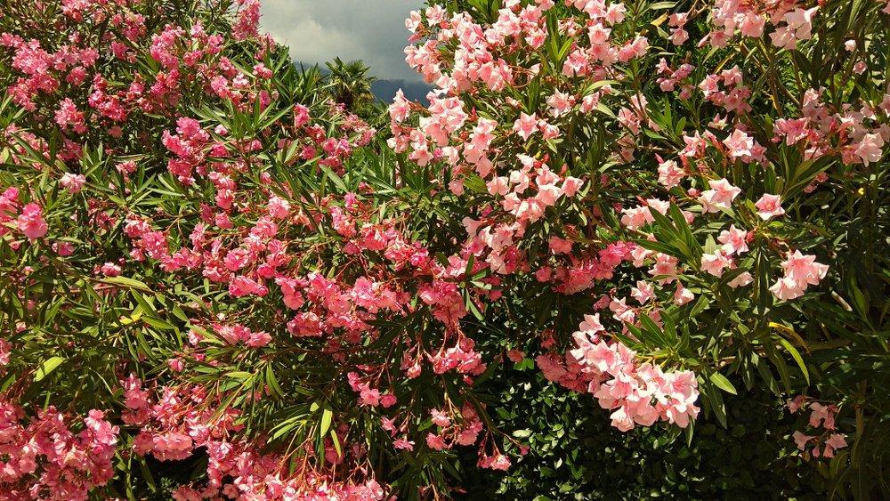 Photo of La magia di una siepe di oleandro, pianta ornamentale dai bellissimi fiori