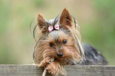 Tutto sullo Yorkshire Terrier, un piccolo cacciatore di roditori di gran compagnia