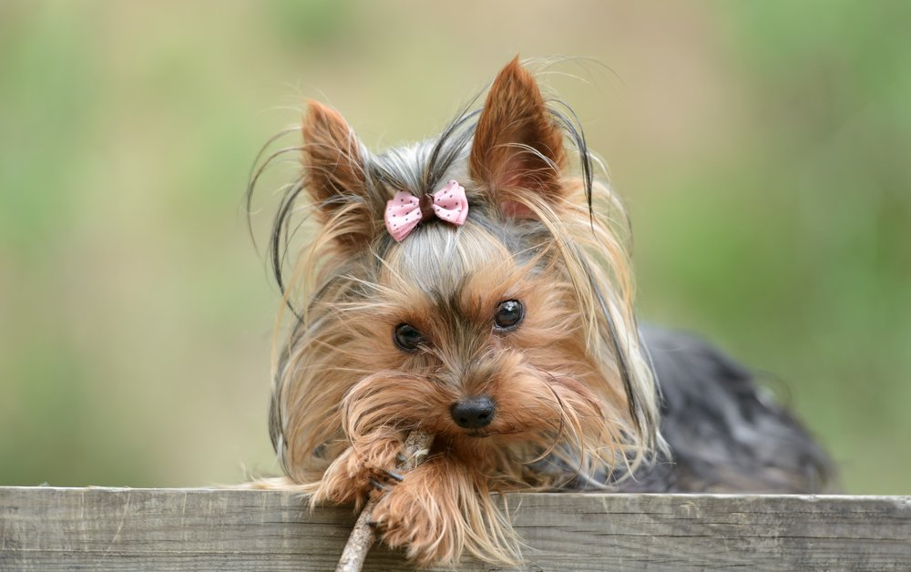 Photo of Tutto sullo Yorkshire Terrier, un piccolo cacciatore di roditori di gran compagnia