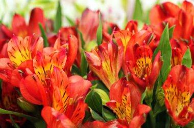 Scoprite tutto sull'alstroemeria e sui suoi fantastici fiori simili al giglio