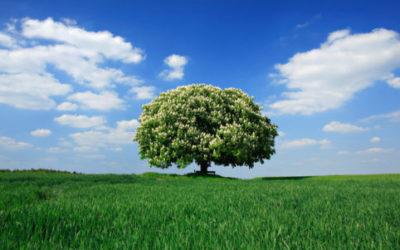Scopriamo il castagno, un grande albero imponente e longevo, molto usato per i suoi frutti