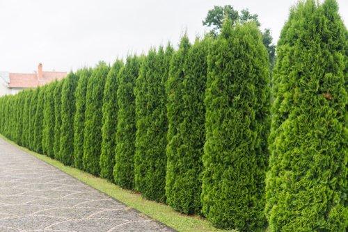 Alla scoperta della tuia o thuja, una pianta ideale per una siepe facile