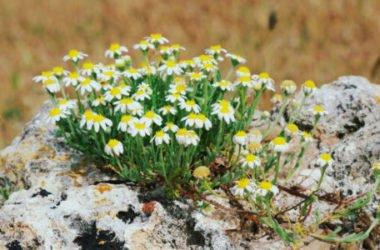 Anthemis: una varietà di perenni dai fiorellini simili a margherite per decorare il giardino