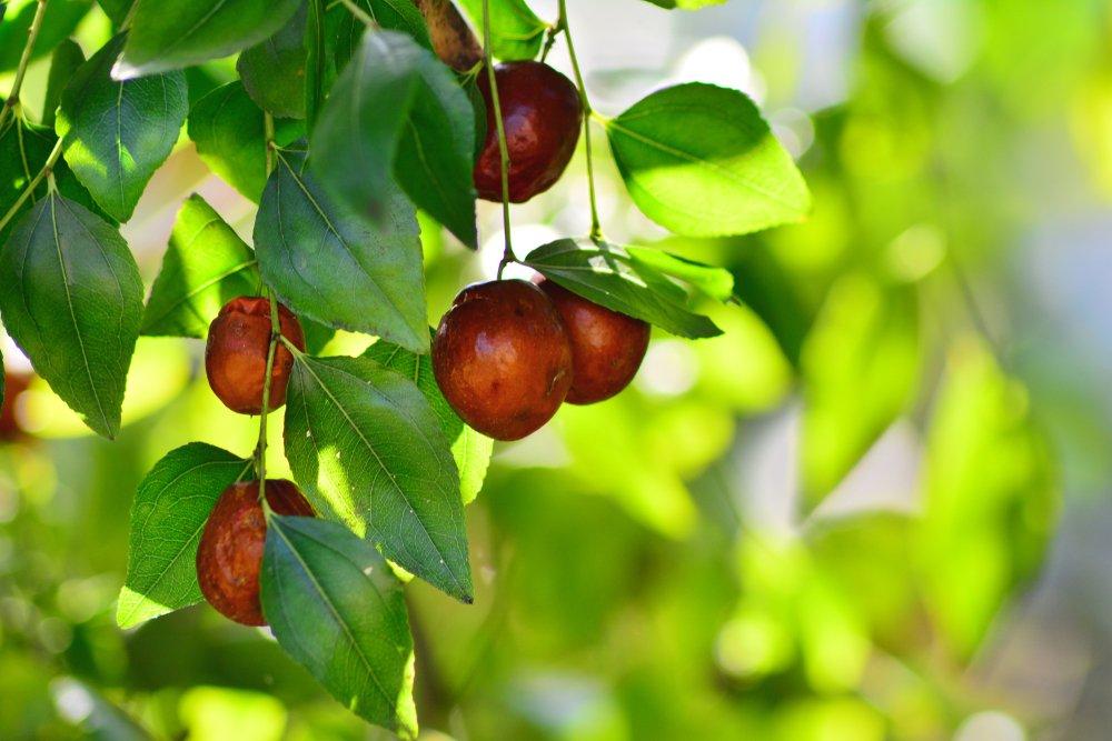 Photo of Giuggiole: frutto autunnale dolce e calorico, che dona anche serenità