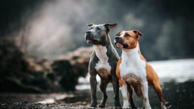 Photo of Amstaff o American staffordshire terrier: tutti i segreti di questa razza non sempre conosciuta
